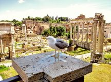 Sea gull. In front of the forum romanum in Rome Stock Photo