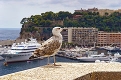 Sea gull  in front of luxury ships Stock Images