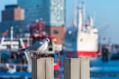 A sea gull in front of a ship and the Elbphilharmonie in. Hamburg harbor Royalty Free Stock Photos