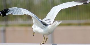 Free Sea Gull Getting Ready To Take Flight Royalty Free Stock Photos - 43096828