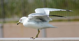 Sea Gull getting ready to take flight Stock Image