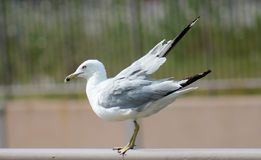 Sea Gull getting ready to take flight Royalty Free Stock Photos