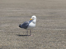 Sea gull on the ground looking in camera Stock Image