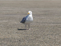 Sea gull on the ground looking in camera close-up Stock Image