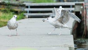 Sea gull gulls fighting on a board walk in a marina royalty free stock image