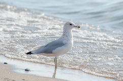 Sea gull hanging out on lake michigan shore Stock Photo