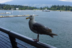 Sea-gull in the harbour of Vancouver Royalty Free Stock Image