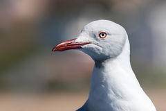 Sea gull head Stock Photos