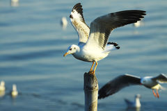 Sea gull holding Royalty Free Stock Image