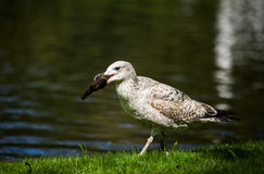 Sea Gull holding a bottle in its beak Stock Photography