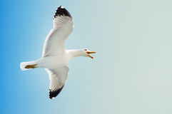 Sea Gull In Flight On A Blue Sky Stock Images