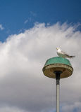 Sea gull. Isolated sea gull on a street lamp Royalty Free Stock Photo