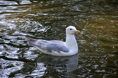 A Sea Gull by the Lake Royalty Free Stock Photo