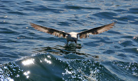 Sea gull landind in the water Stock Photo