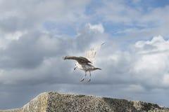 Sea gull landing Stock Images