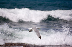 Sea gull ( larus argentatus ) Stock Image