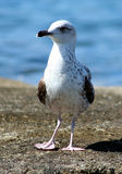 Sea gull - Larus argentatus. Sea gull on the stone with sea background Stock Image