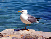Sea gull - Larus argentatus. Sea gull on the stone with sea background Royalty Free Stock Image