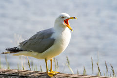 Sea Gull on log Royalty Free Stock Images