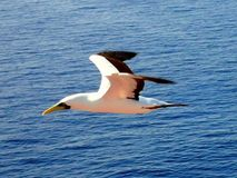 Sea gull low flight. Sea gull flies above the water Stock Image