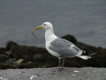 Sea Gull Lunch Royalty Free Stock Image