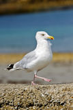Marching gull Royalty Free Stock Images