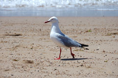 Sea gull model, australia Royalty Free Stock Image