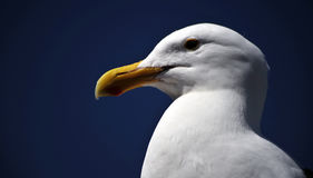 Sea Gull, Moro Bay, California. A noble sea gull stands waiting to fly Stock Images