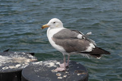 Sea Gull Near the Ocean Royalty Free Stock Images