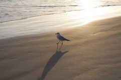 Sea Gull Near the Ocean Royalty Free Stock Photo