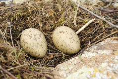 Sea gull nest Stock Images