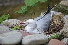 Sea-gull,nest Royalty Free Stock Photo