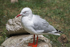 Sea-gull,nest Stock Photography