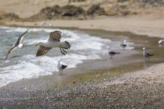 Sea Gull in New Zealand coast. Stock Image
