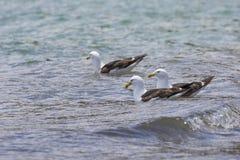 Sea Gull in New Zealand coast. Royalty Free Stock Photo