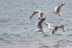 Sea Gull in New Zealand coast. Stock Photography