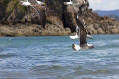 Sea Gull in New Zealand coast. Royalty Free Stock Photos
