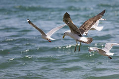 Sea Gull in New Zealand coast. Stock Images