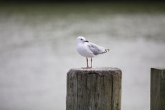 Sea gull. Stock Images
