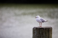 Sea gull. Sea gull from New Zealand at a fishing wharf in Thames, New Zealand - travel image Royalty Free Stock Photos