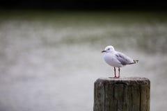 Sea gull. royalty free stock photos