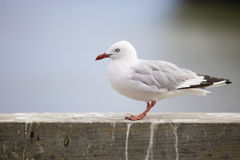 Sea gull. stock photo