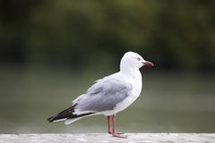 Sea gull. Stock Photography