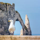 Sea gull in Normandy. Seagull looking for food. In the background the cliffs of Etretat, France royalty free stock image
