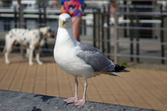 Sea gull at the North Sea Stock Images