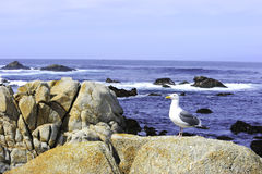 Sea Gull at the Ocean Royalty Free Stock Photos