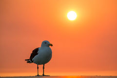 Sea Gull with orange sky. At sunset royalty free stock photography
