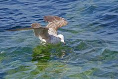 The sea gull Royalty Free Stock Images