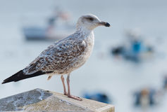 Sea Gull perched Royalty Free Stock Photography