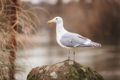 Sea Gull Perched On Rock Stock Photos